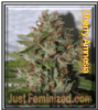 Cherry Amnesia Just Female Mix & Match Seeds